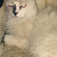 Domestic Longhair Cat for adoption in Alhambra, California - Cookie