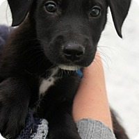 Adopt A Pet :: Trouble - Mt. Prospect, IL