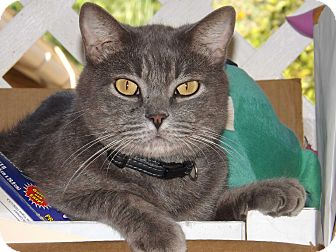Domestic Shorthair Cat for adoption in Mesa, Arizona - Gregory