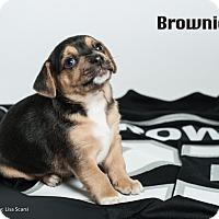 Adopt A Pet :: Brownie - Irvine, CA