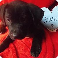 Adopt A Pet :: Shadow - Batesville, AR