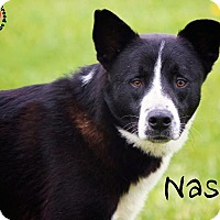Border Collie Mix Dog for adoption in Joliet, Illinois - Nash
