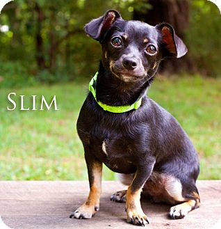 Dachshund/Chihuahua Mix Puppy for adoption in Barium Springs, North Carolina - SLIM
