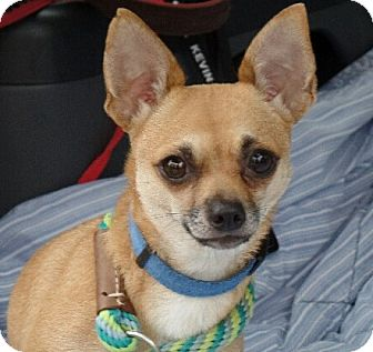 Chihuahua Dog for adoption in Allentown, Pennsylvania - Gigi