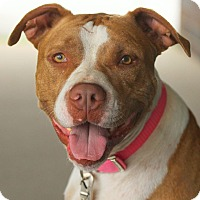 Pit Bull Terrier Mix Dog for adoption in Lafayette, Indiana - Phoenix