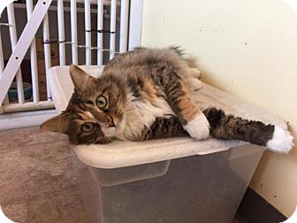 Domestic Longhair Cat for adoption in Erwin, Tennessee - Layla