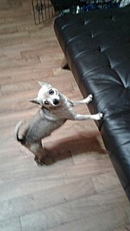 Chihuahua Dog for adoption in Ardmore, Oklahoma - Dusty