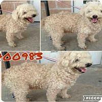 Adopt A Pet :: A400983 - San Antonio, TX