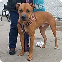 Rhodesian Ridgeback Mix Dog for adoption in Brooklyn, New York - LoMein