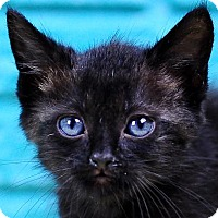 Domestic Mediumhair Kitten for adoption in Fort Lauderdale, Florida - Byron