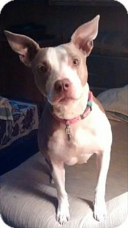 Pit Bull Terrier Mix Dog for adoption in Sharon Center, Ohio - Etta - PENDING