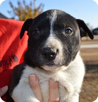 Boxer Mix Puppy for adoption in Seabrook, New Hampshire - Aaron-ADOPTED