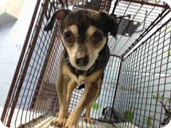 Chihuahua Mix Dog for adoption in San Bernardino, California - URGENT ON 11/30 San Bernardino