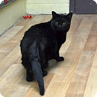 Domestic Shorthair Cat for adoption in Wheaton, Illinois - Holly
