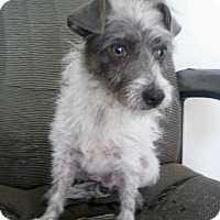 Terrier (Unknown Type, Small) Mix Dog for adoption in Denver, Colorado - Squiggy