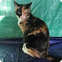 Domestic Shorthair Cat for adoption in Harrisburg, Pennsylvania - Alessa (teenage female)