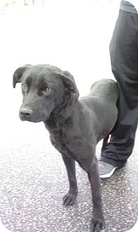 Labrador Retriever Mix Puppy for adoption in Staunton, Virginia - Franklyn