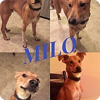 Adopt A Pet :: Milo - Cincinnati, OH