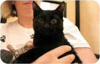 Bombay Cat for adoption in Orlando, Florida - Deegan