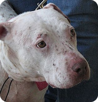 American Pit Bull Terrier/Australian Cattle Dog Mix Dog for adoption in Arlington, Texas - Freckles