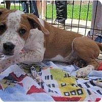 Adopt A Pet :: Gibbs - Alexandria, VA