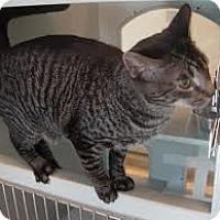Adopt A Pet :: Tabitha - Lancaster, MA