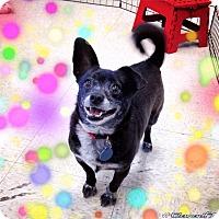Adopt A Pet :: Lainey - Gilbert, AZ