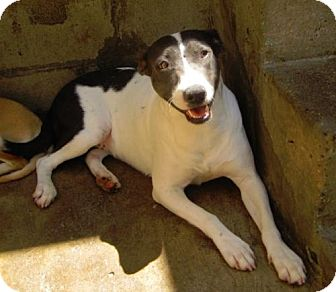Jack Russell Terrier/Pointer Mix Dog for adoption in San Diego, California - Pointer Mix Girl