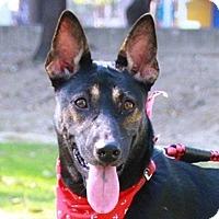 Shepherd (Unknown Type)/Bernese Mountain Dog Mix Dog for adoption in San Francisco, California - Finny