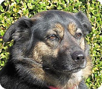 German Shepherd Dog/Labrador Retriever Mix Dog for adoption in Germantown, Maryland - LuAnne