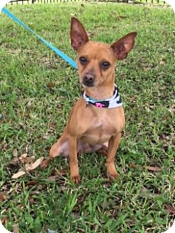 chihuahua rescue houston casanova adopted dog dw houston tx chihuahua mix 8631