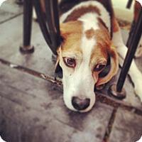 Adopt A Pet :: Buzz Courtesy Listing - Sparta, NJ