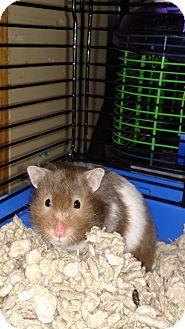 Hamster for adoption in Benton, Pennsylvania - Swirl