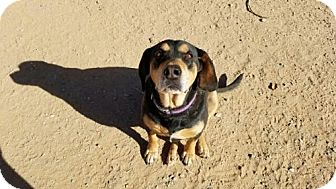 Labrador Retriever/Dachshund Mix Dog for adoption in Surprise, Arizona - Hot Rod