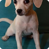 Adopt A Pet :: Edie - tucson, AZ