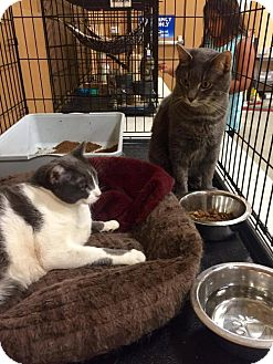 Russian Blue Cat for adoption in Yucca Valley, California - LUCKY & MOO MOO