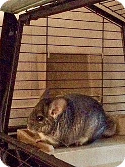Chinchilla for adoption in Granby, Connecticut - Chilly