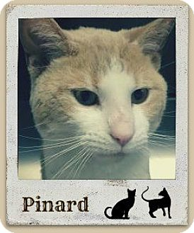 Domestic Shorthair Cat for adoption in Manchester, New Hampshire - Pinard-Check out my cool video