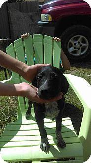 Labrador Retriever/Hound (Unknown Type) Mix Puppy for adoption in Aurora, Colorado - Sox