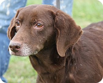 Labrador Retriever Mix Dog for adoption in Marietta, Ohio - Bear (Neutered)
