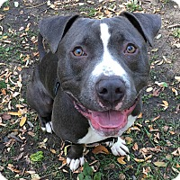 American Staffordshire Terrier Mix Dog for adoption in Oak Park, Illinois - Ozzy