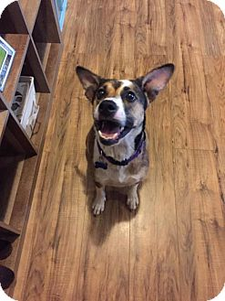 Beagle/Corgi Mix Dog for adoption in Roanoke, Virginia - Bella