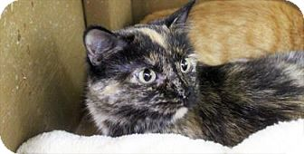 Domestic Shorthair Cat for adoption in West Des Moines, Iowa - Cora