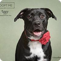Adopt A Pet :: Iggy - Chandler, AZ