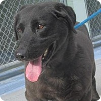 Basset Hound/Labrador Retriever Mix Dog for adoption in Mount Sterling, Kentucky - Victor