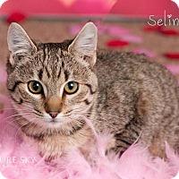 Adopt A Pet :: Seline - Phoenix, AZ