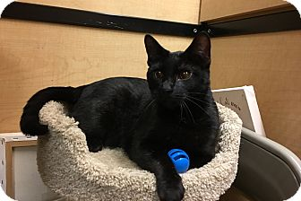 Domestic Shorthair Cat for adoption in Riverside, California - Clementine