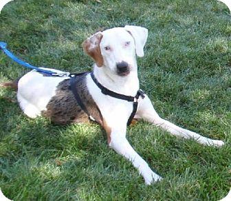 Treeing Walker Coonhound/Catahoula Leopard Dog Mix Dog for adoption in Schererville, Indiana - Charlie