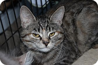 American Shorthair Kitten for adoption in Santa Monica, California - Presley