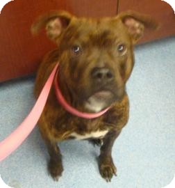 American Pit Bull Terrier Mix Dog for adoption in Gainesville, Florida - Debo